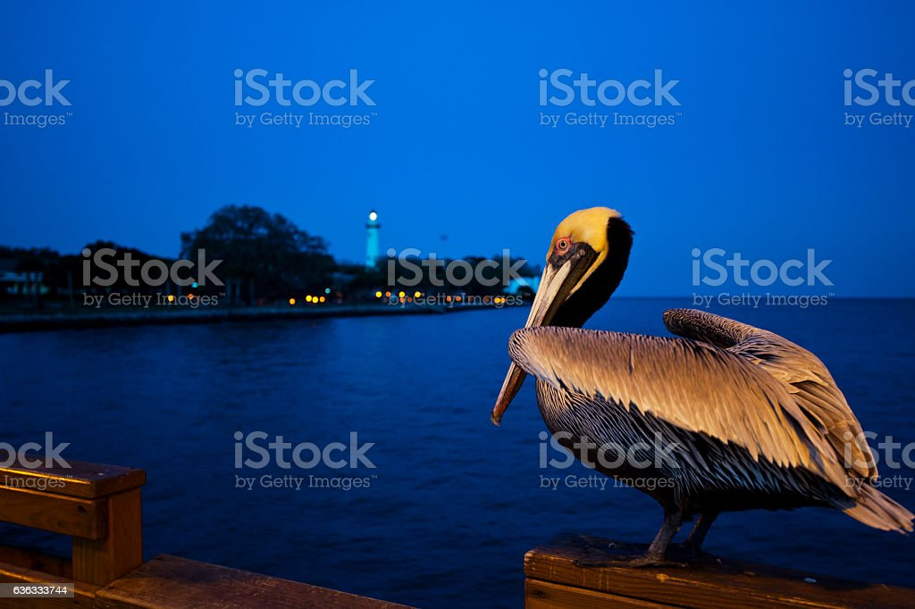 Brown Pelican at sunset stock photo