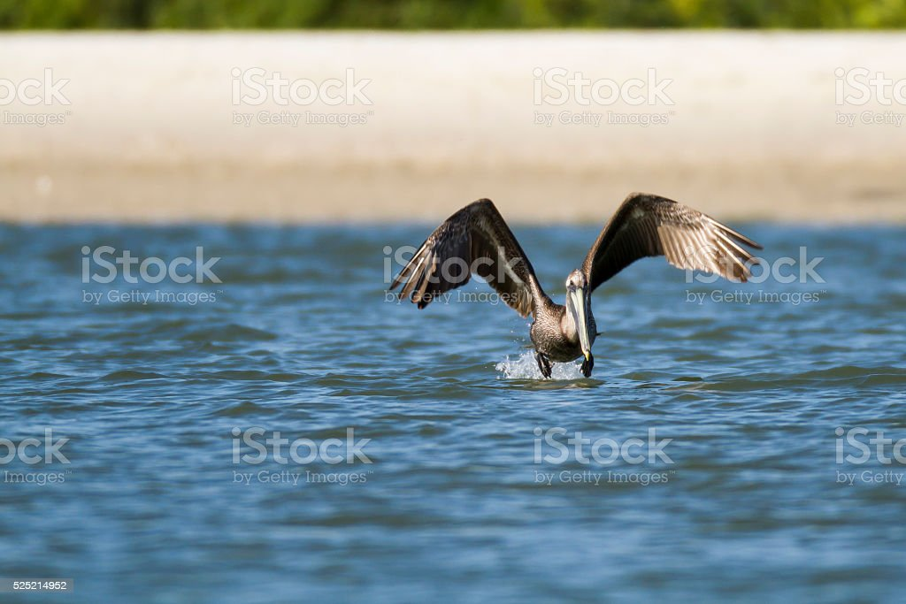 Brown Pelican at takeoff stock photo