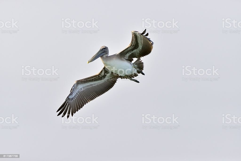Brown Pelican Banking stock photo