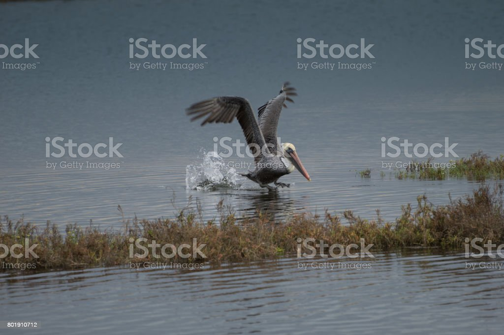 Brown Pelican Coming in for Landing stock photo
