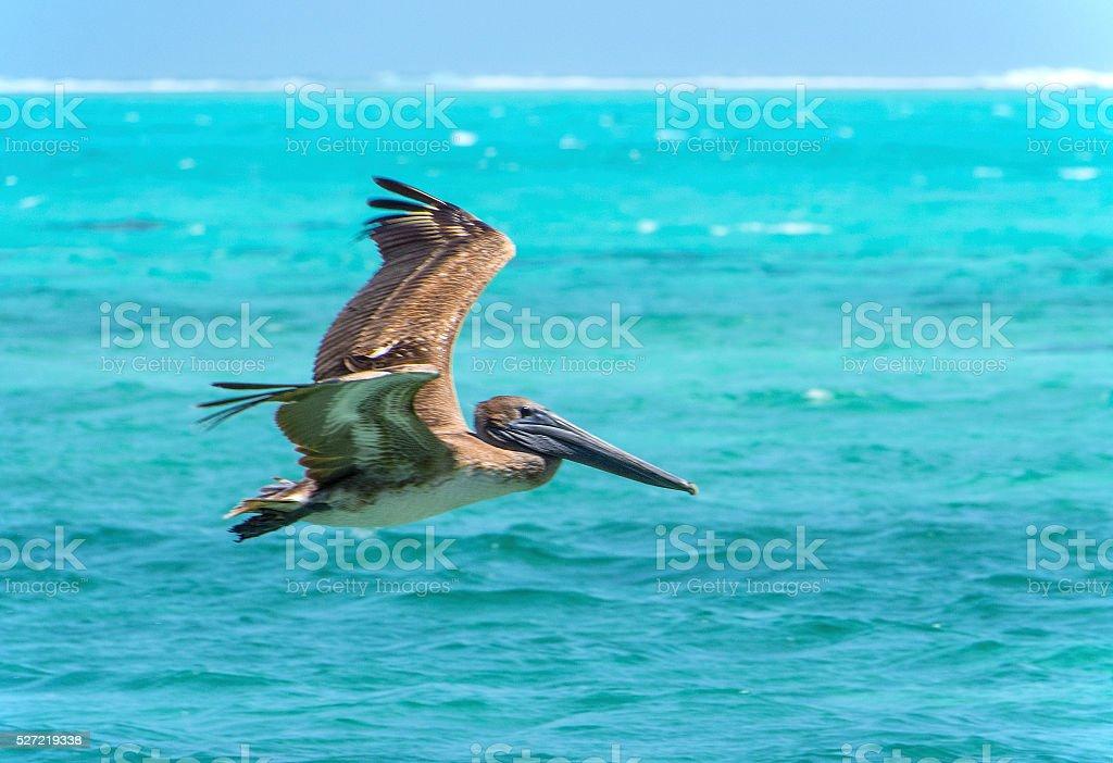 Brown pelican flight stock photo