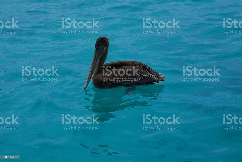 Brown Pelican Floating on the Ocean royalty-free stock photo
