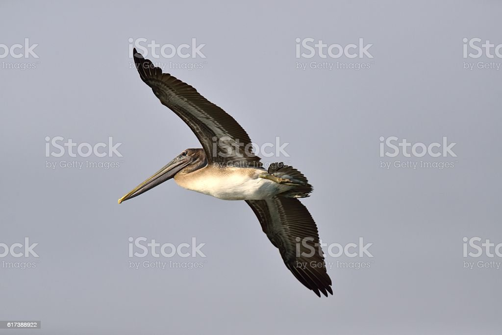 Brown Pelican Flyby stock photo
