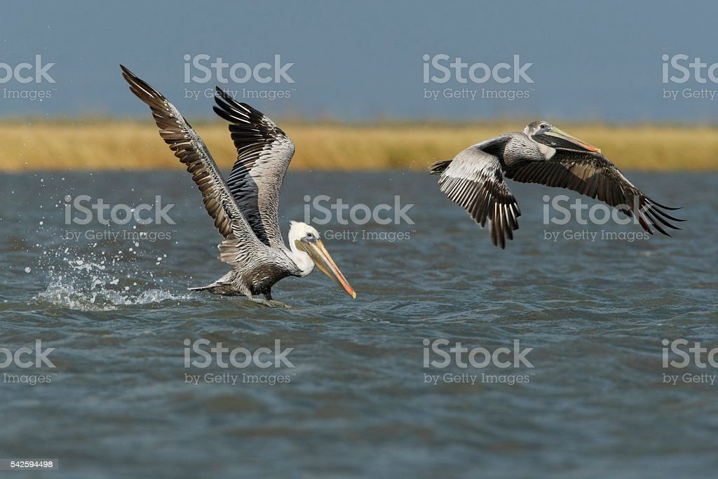 Brown pelican (Pelecanus occidentalis) flying, Bolivar peninsula, Texas, USA stock photo