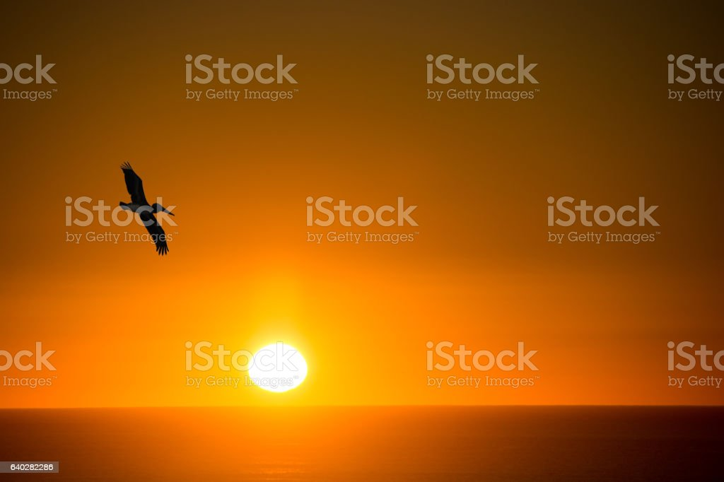 Brown Pelican flying over the Sea of Cortez- sunset stock photo