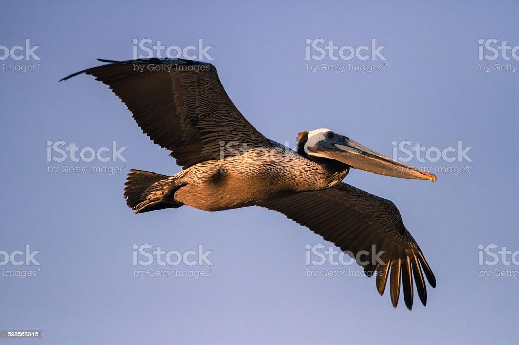 Brown pelican flying stock photo