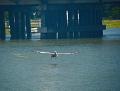 Brown Pelican Glide Path to Water landing