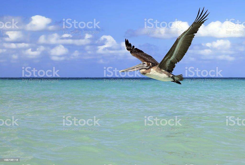 Brown Pelican in flight stock photo