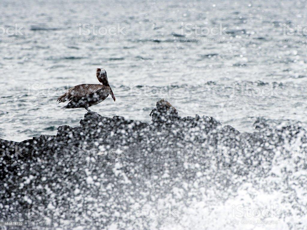 Brown Pelican in sea spray, Galapagos Islands stock photo