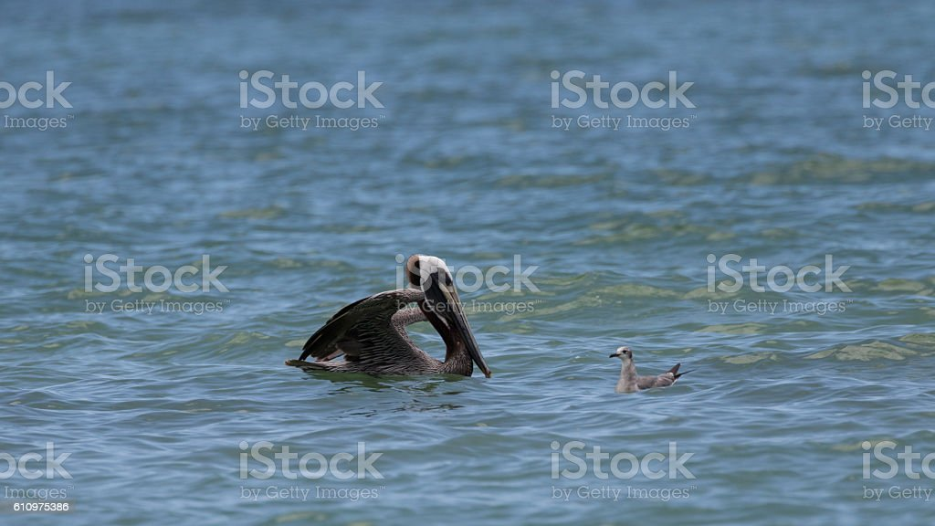 Brown Pelican in the Ocean with Laughing Gull stock photo