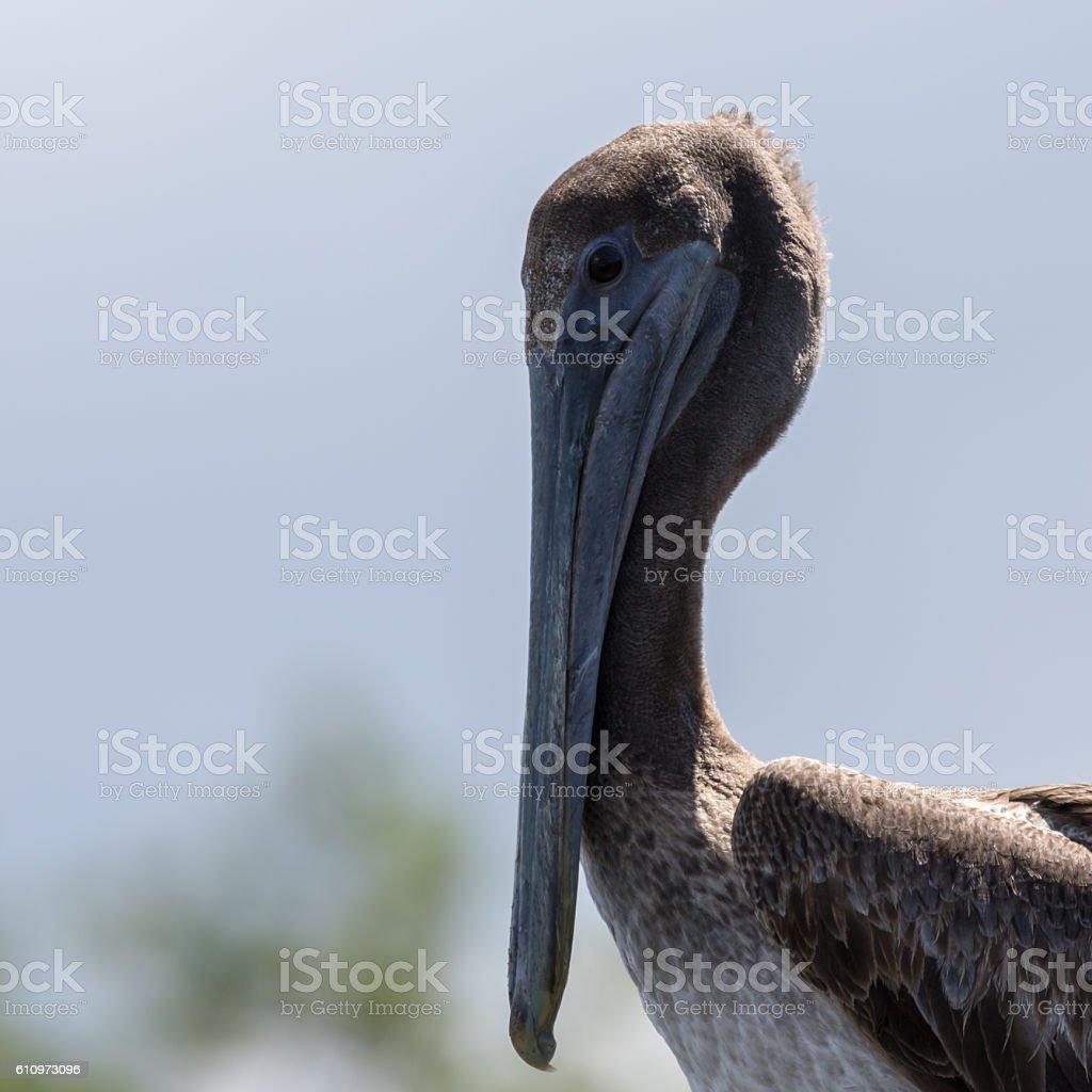 Brown Pelican, J.N. ''Ding'' Darling National Wildlife Refuge, S stock photo