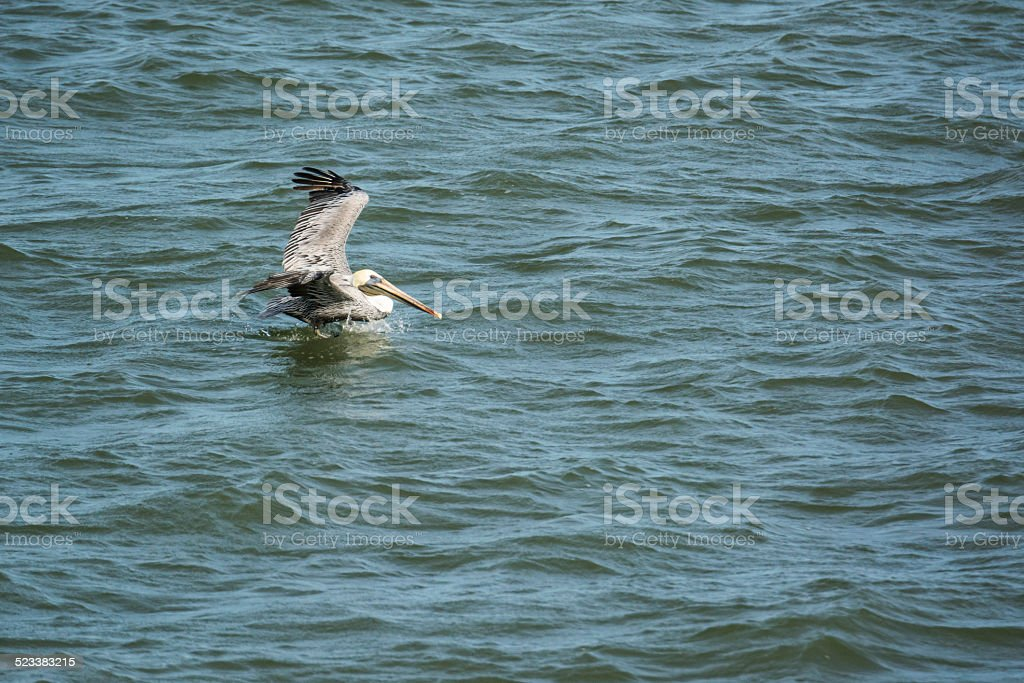 Brown Pelican Landing In Ocean stock photo