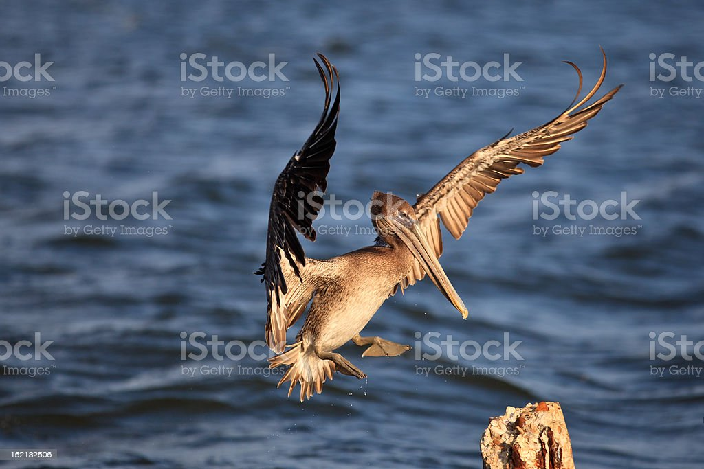 Brown Pelican Lands on Piling stock photo
