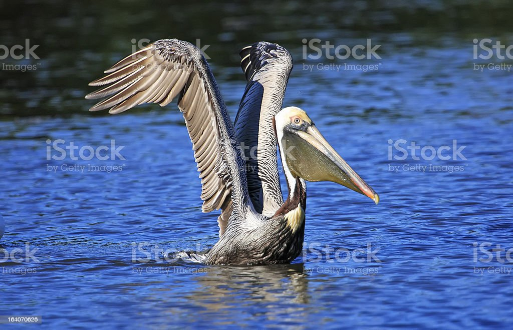 Brown Pelican (Pelecanus occidentalis) royalty-free stock photo
