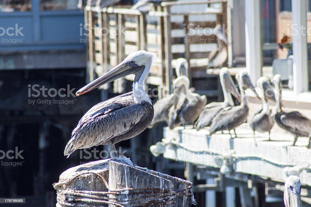 Brown Pelican royalty-free stock photo
