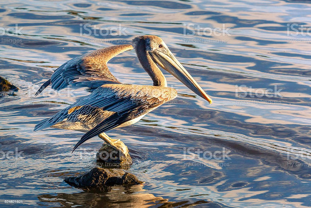 Brown Pelican Preparing To Leap Into Flight royalty-free stock photo