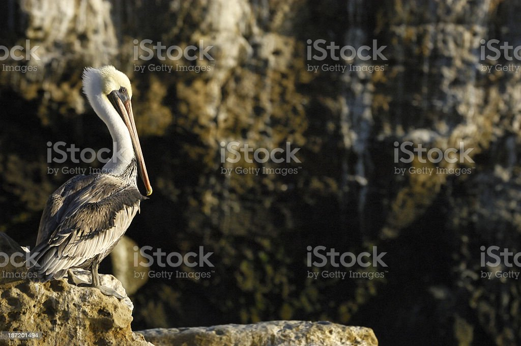Brown Pelican Resting on Coastal Rocky Shore royalty-free stock photo