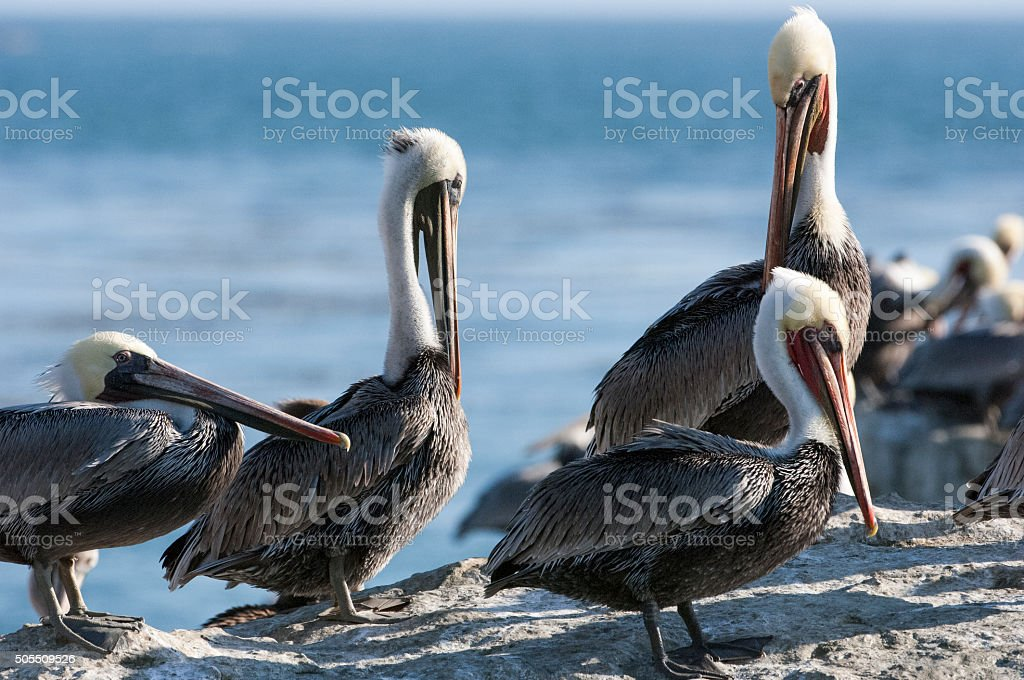 Brown Pelican Resting on Coastal Rocky Shore stock photo