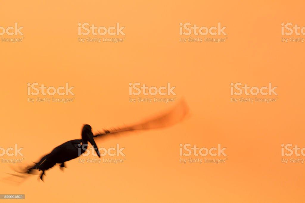 Brown Pelican soft silhouette stock photo