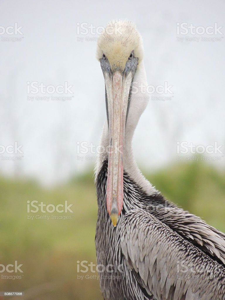 Brown Pelican staring at the camera stock photo
