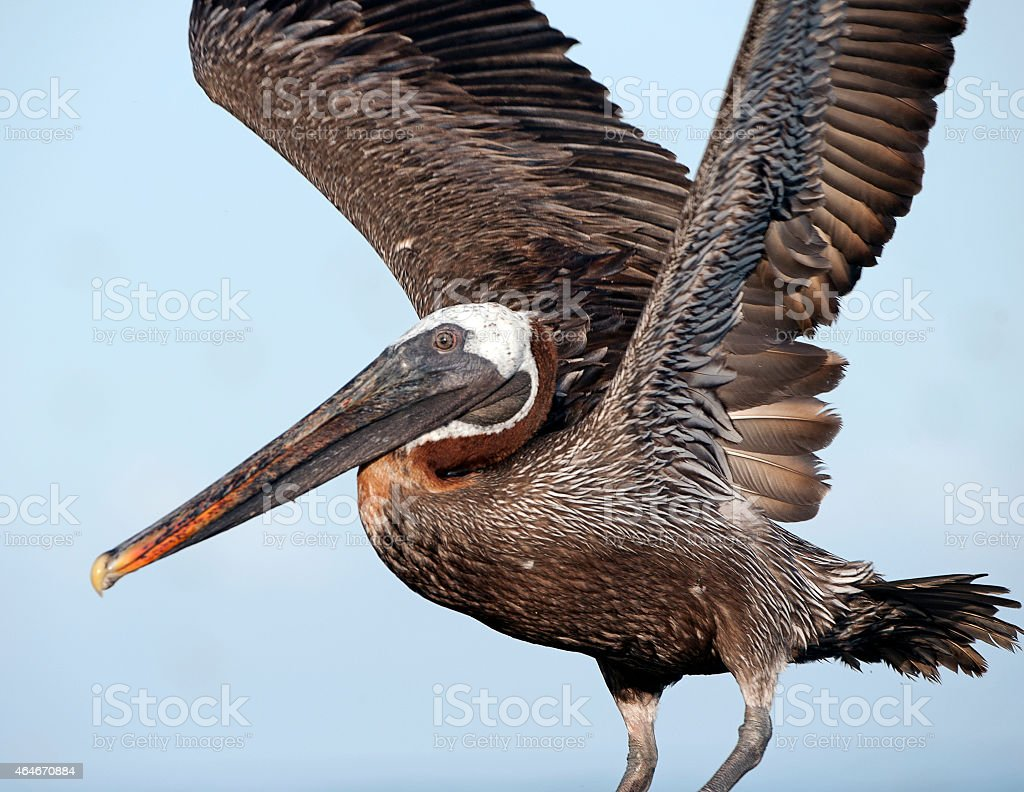 Brown Pelican takeoff performance, Galapagos Islands stock photo