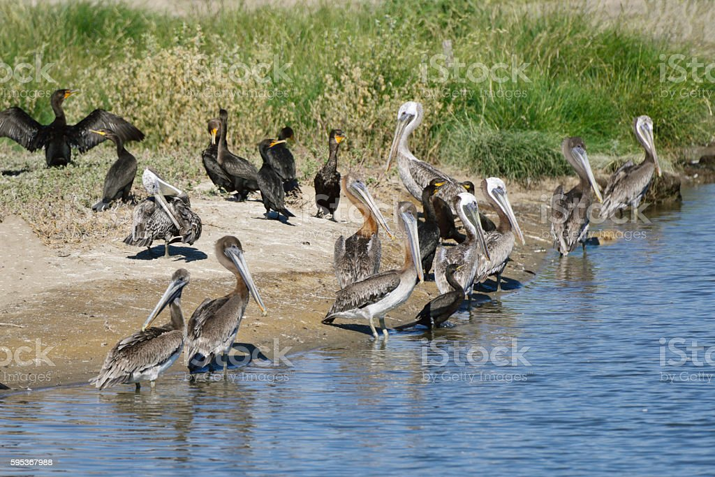 Brown Pelicans and Double-crested Cormoranst stock photo