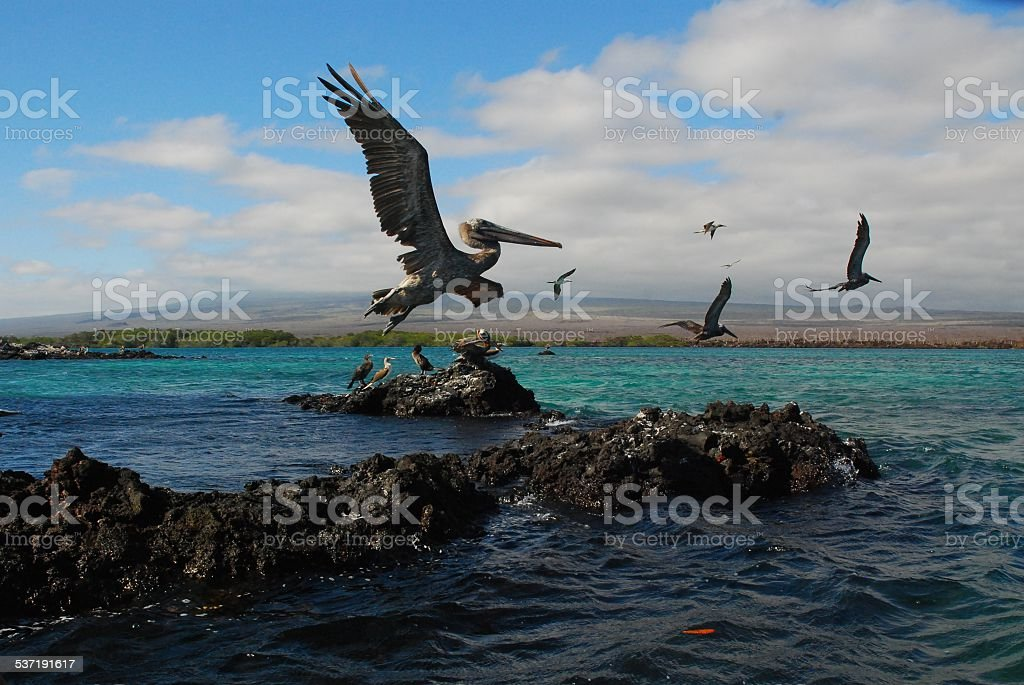 Brown Pelicans Flying Above Volcanic Rock royalty-free stock photo