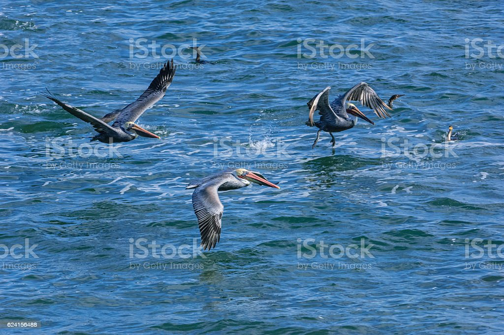 Brown Pelicans Flying Low Over Pacific Coast stock photo
