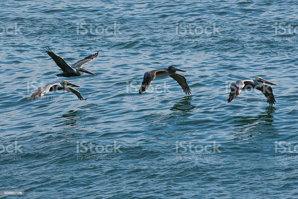Brown Pelicans Flying Over Pacific Coast stock photo