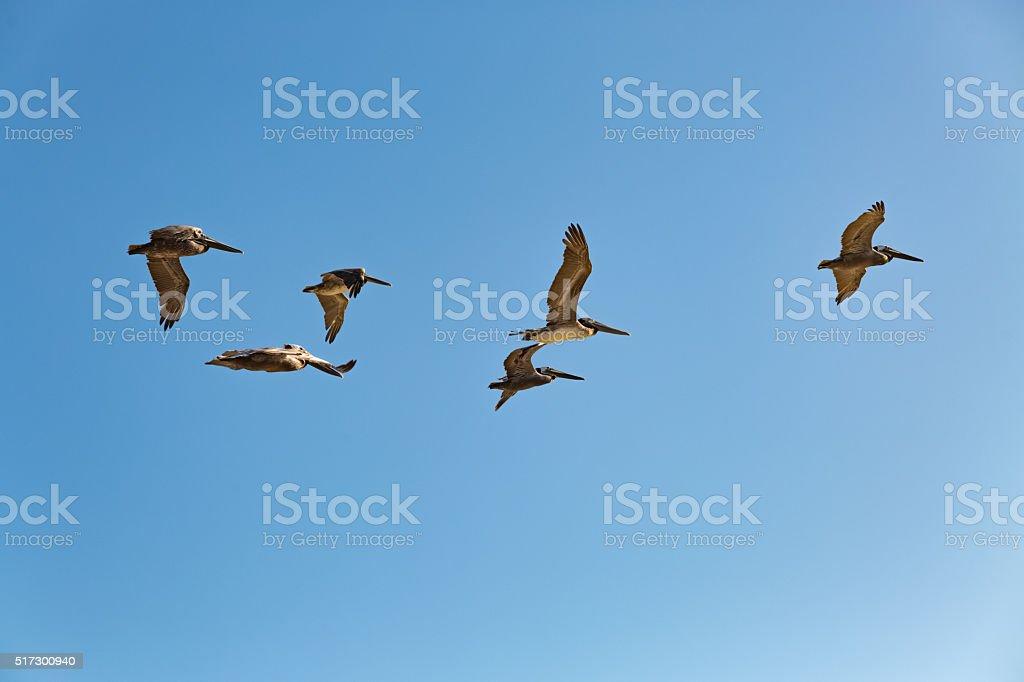 Brown Pelicans flying Pelecanus occidentalis stock photo