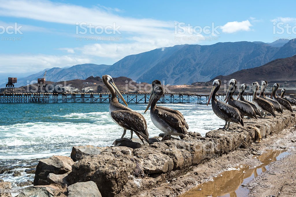 Brown pelicans in the old pier of Taltal (Chile) stock photo