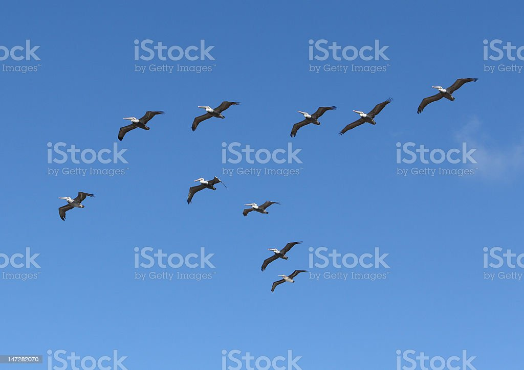 Brown Pelicans in the sky royalty-free stock photo