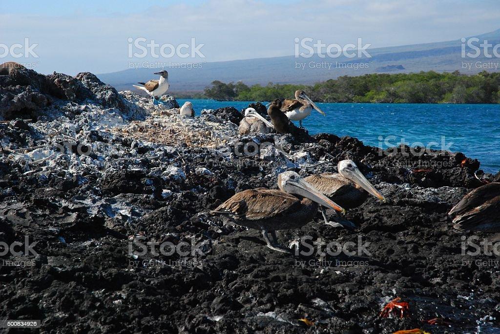 Brown Pelicans on Volcanic Rock in Elizabeth Bay royalty-free stock photo