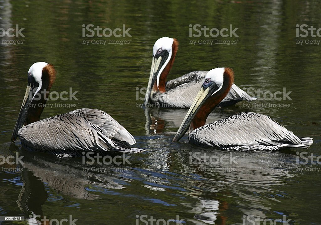 Brown Pelicans royalty-free stock photo