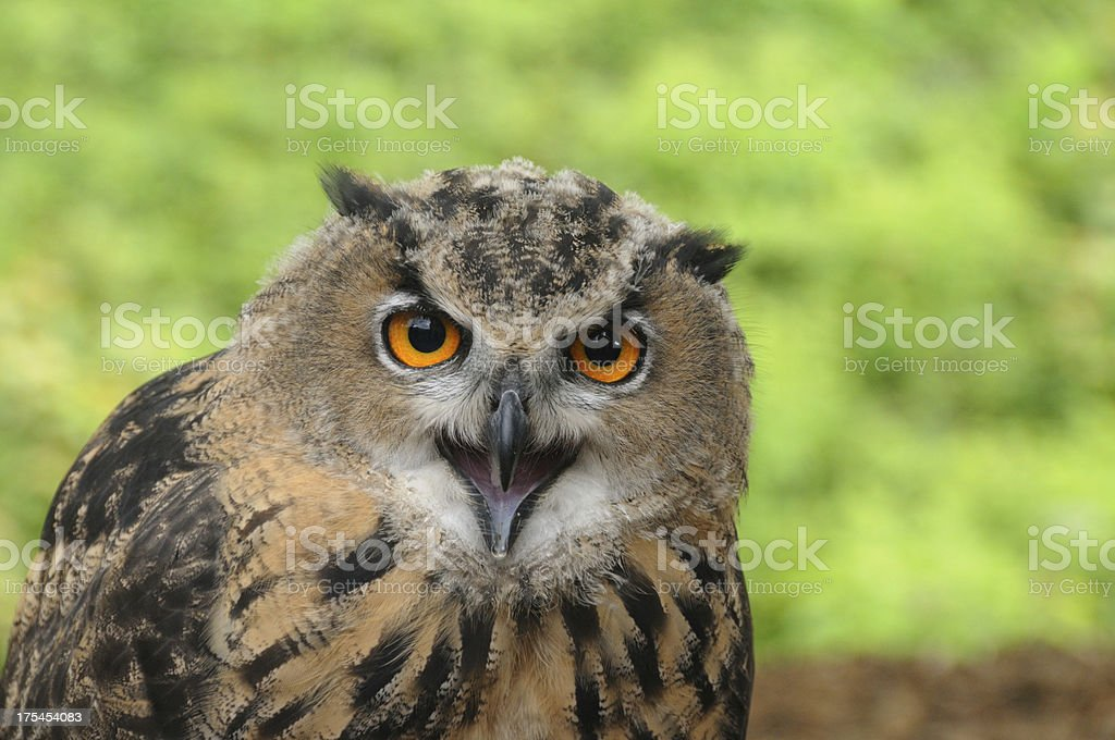 Brown (Tawny Owl) stock photo
