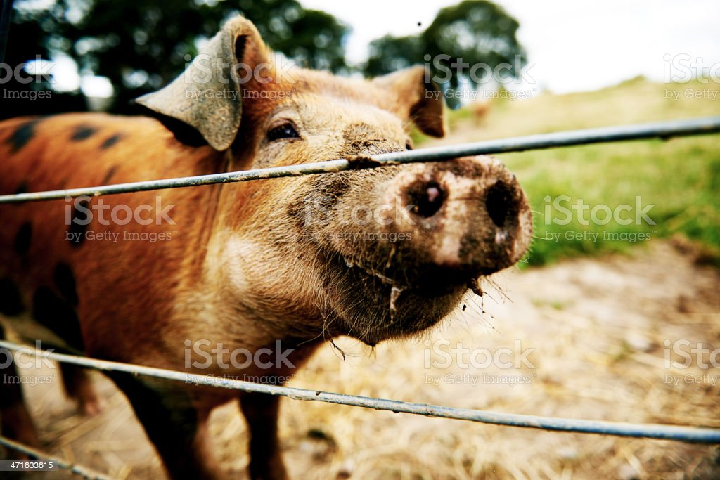 Brown pig looking at camera stock photo