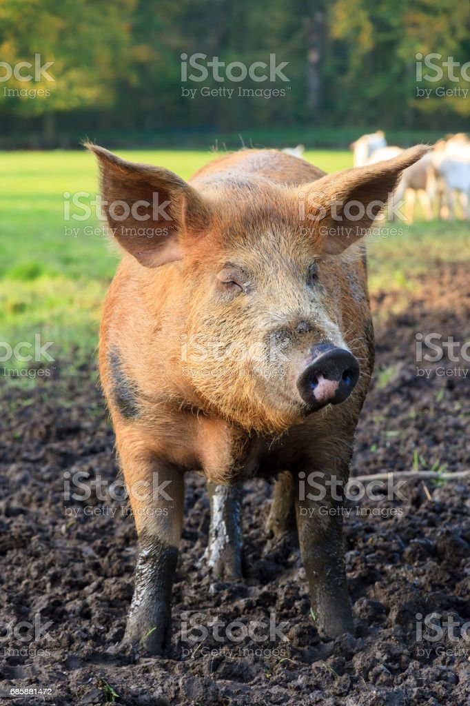 Brown pig stock photo