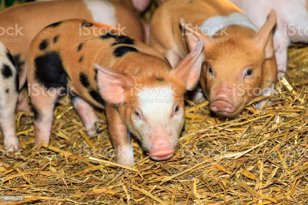 brown piglets at the farm stock photo