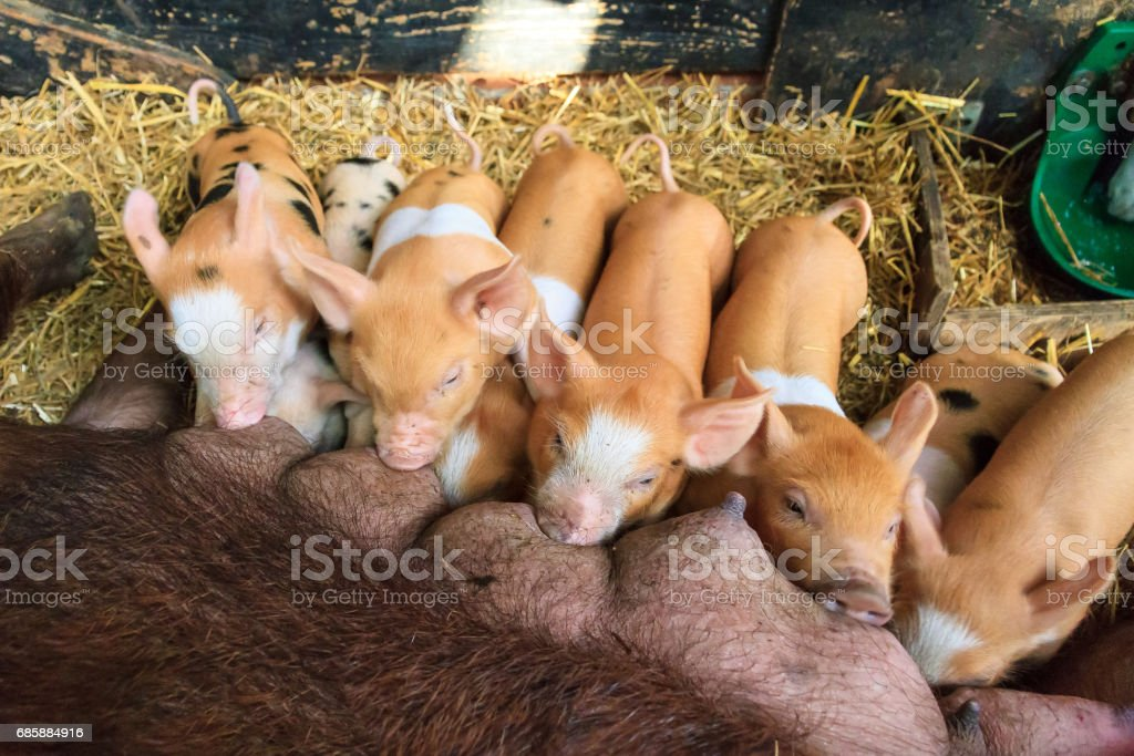 Brown piglets feeding time stock photo