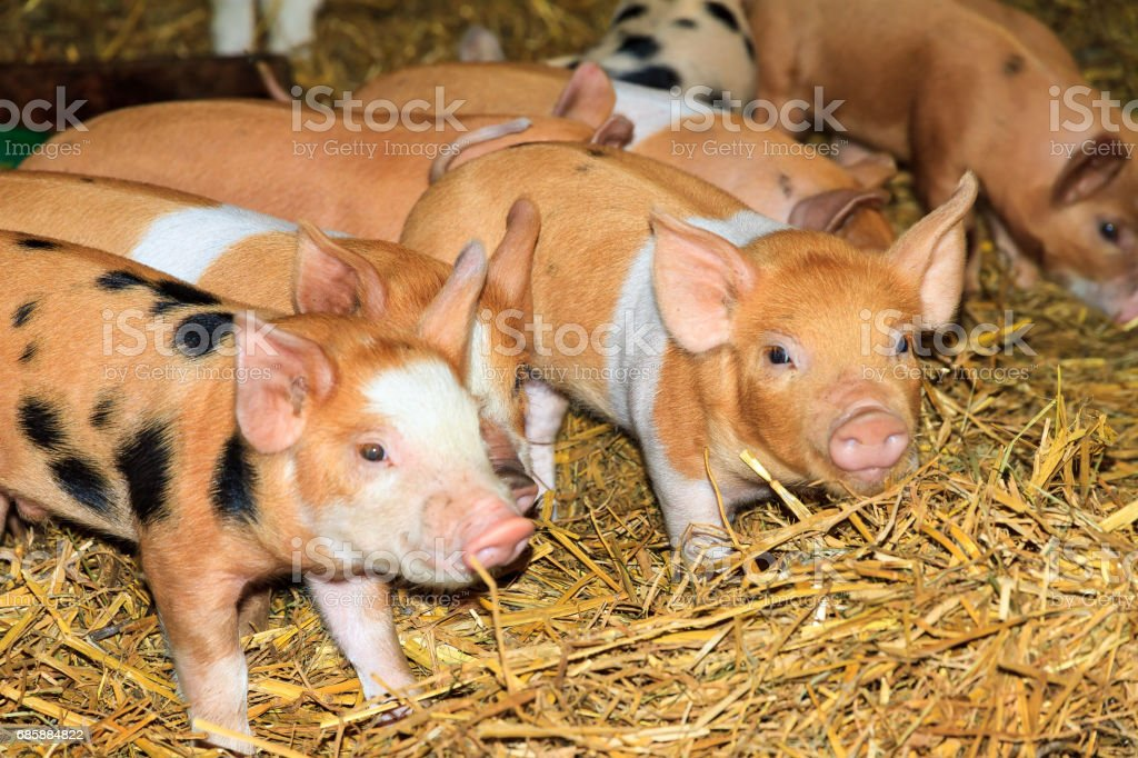 Brown piglets stock photo