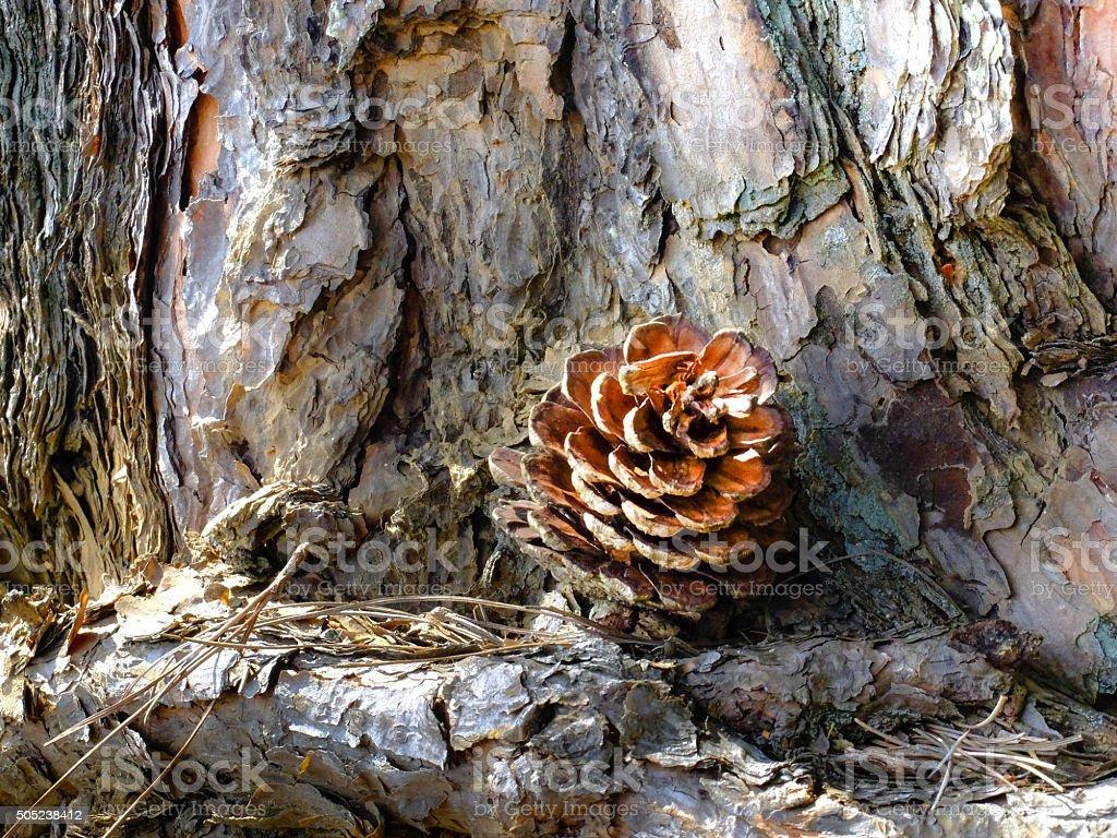 Brown pine cone on pine bark stock photo
