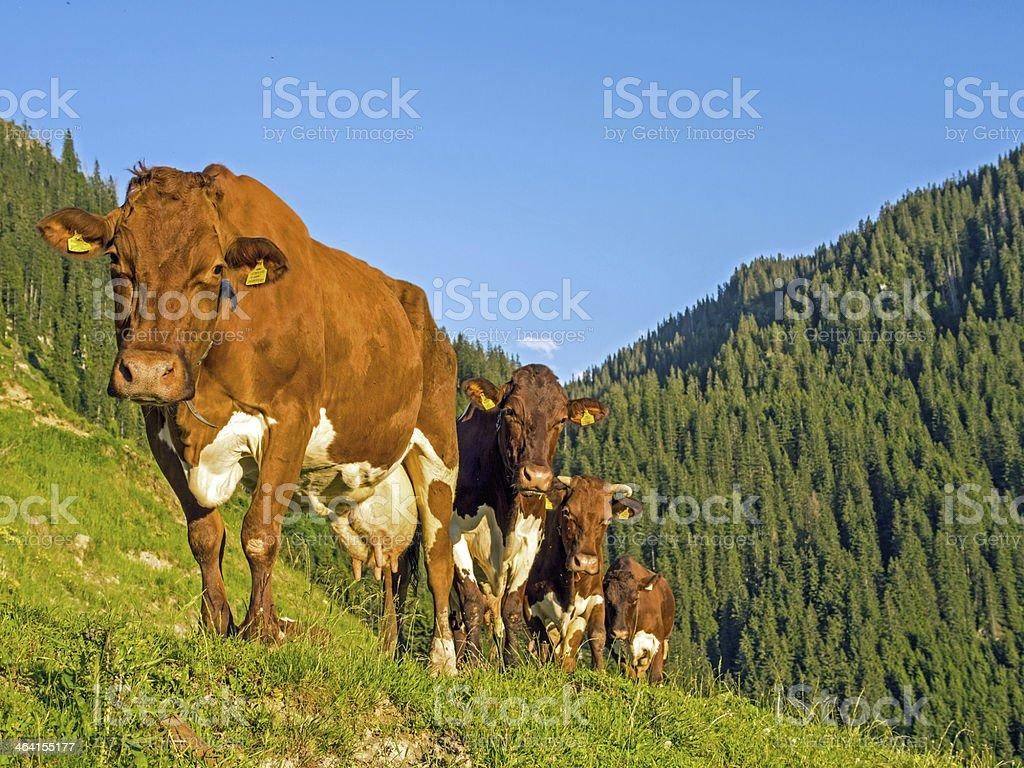 Brown Pinzgau Cattle in the evening sun stock photo