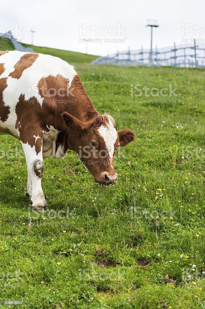 Brown Pinzgau Cow on Kitzbuheler Horn stock photo