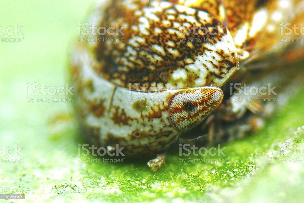 Brown planthopper royalty-free stock photo