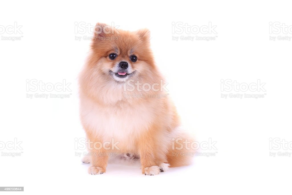 brown pomeranian dog isolated on white background, cute pet stock photo