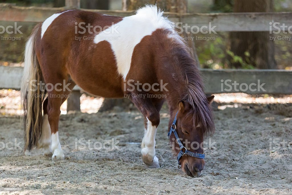 Brown pony stands quietly in a corral on the farm stock photo