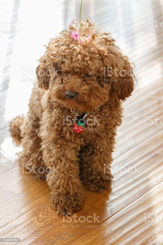 brown poodle stock photo