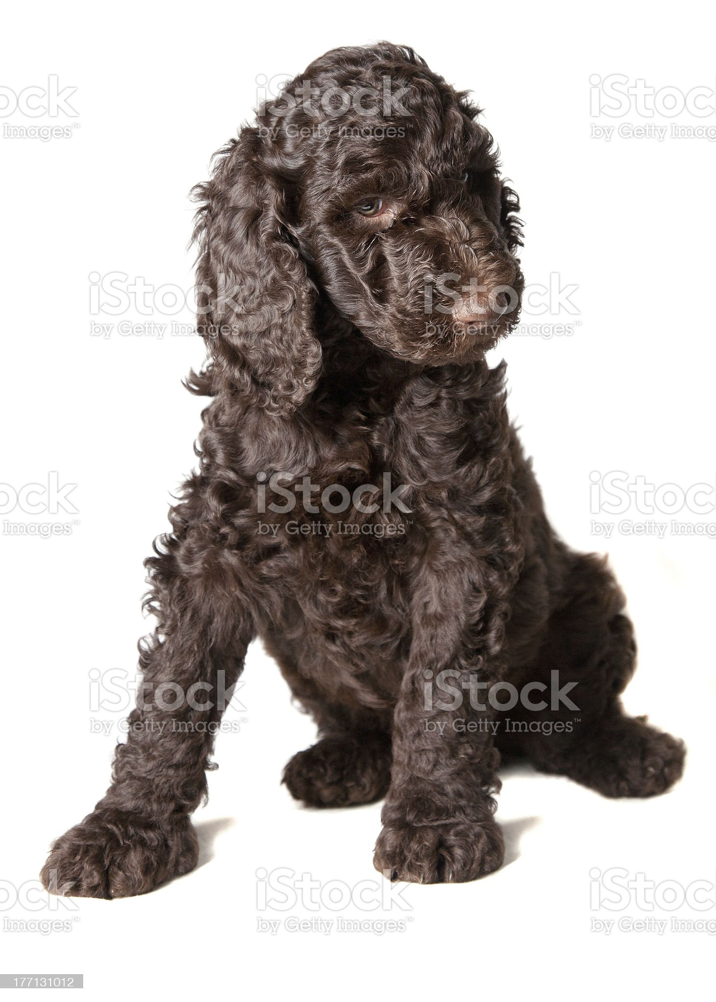 Brown Poodle Puppy royalty-free stock photo