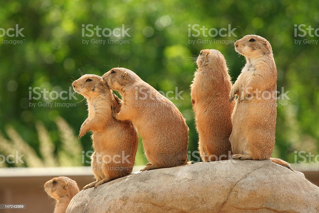 Brown prairie dogs standing together on a rock outside royalty-free stock photo