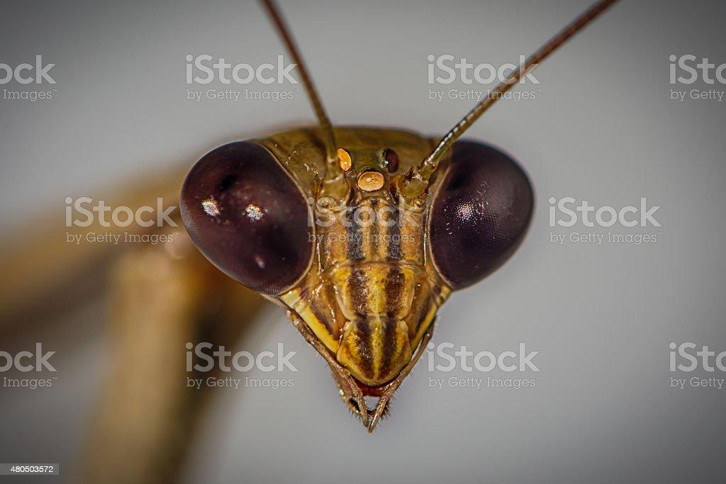 Brown Praying Mantis (Mantis Religiosa), head detail stock photo